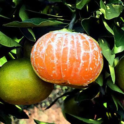 新鲜青皮桔子3斤橘子果园现摘新鲜水果柑橘直径55mm以上