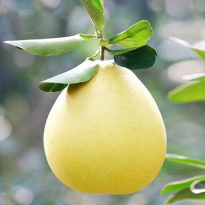 【果园现摘】新鲜水果柚子蜜甜多汁两个四个装单果900克+多仓发货
