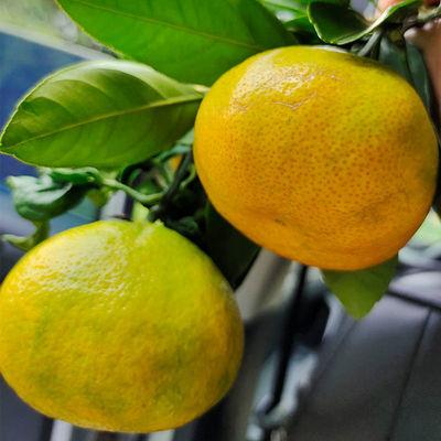 蜜橘新鲜云南橘子应季水果早熟桔子薄皮多汁蜜橘现摘批发整箱包邮