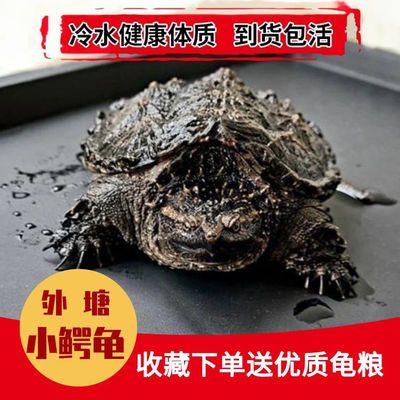 北美小鳄龟苗爆刺宠物龟观赏龟杂佛食肉龟水龟外塘凶猛小乌龟纯佛