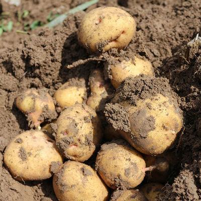 东北新鲜土豆农家蔬菜黄皮黄心当季土豆带箱5斤马铃薯包邮大土豆
