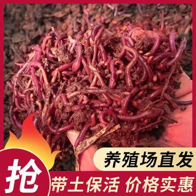 73228/活蚯蚓 鱼饵 大号蚯蚓 地龙 垂钓鱼饵