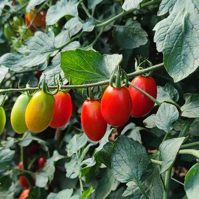 圣女果水果小番茄新鲜自然熟西红柿整箱批发纯天然当季孕妇水果