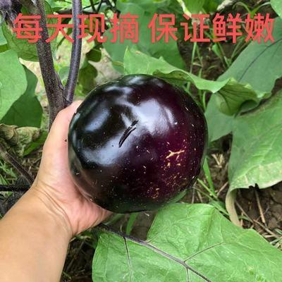 【大促销】新鲜蔬菜现摘 圆茄子紫黑茄子3斤 五斤 包邮保证质量