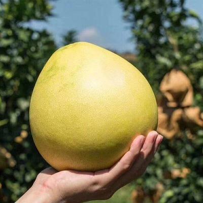 【酸甜可口】新鲜水果柚子 单果900克 多仓发货
