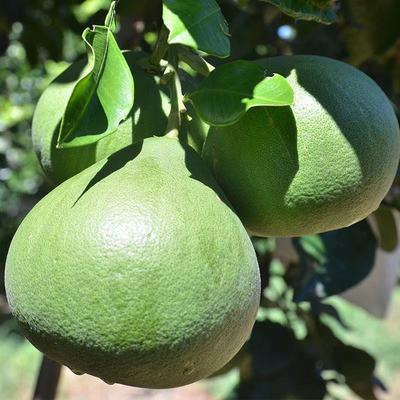 【酸酸甜甜】新鲜柚子2个4个装单果900克现摘先发+全国多仓发货