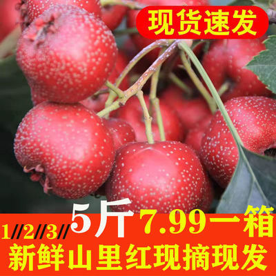 75590/新鲜应季山楂果现摘鲜山里红农家特大山楂鲜果特级水果糖葫芦批发