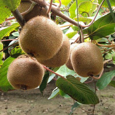 【坏果联系客服包赔】周至绿心猕猴桃新鲜水果奇异果应季水果