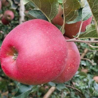 云南昭通丑苹果脆甜特大正宗冰糖心红富士新鲜当季野生水果2021
