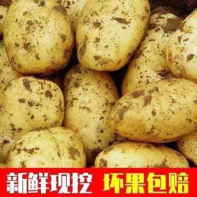 【现挖现发】新鲜土豆10斤黄皮土豆农家马铃薯现挖现发大洋芋批发