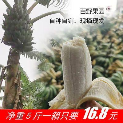 云南高山超甜原生态芭蕉粉蕉非香蕉小米蕉净重5斤/9斤全国包邮