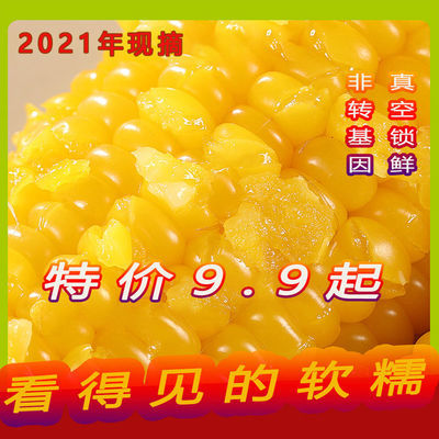 93292/2021新鲜黄糯玉米棒8根10根真空东北粘糯玉米甜糯玉米批发黏苞米