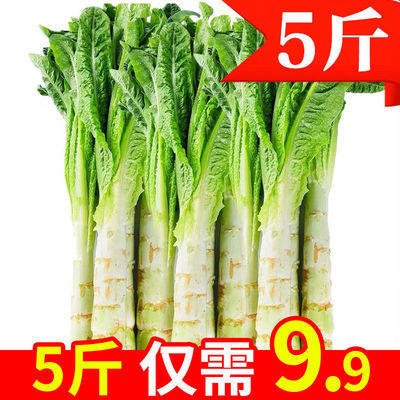 莴笋批发农家自种红叶莴笋莴苣菜新鲜蔬菜现摘莴笋新鲜蔬菜批发