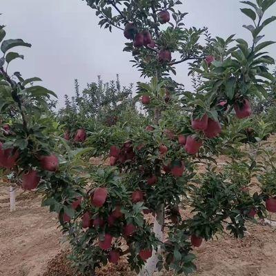 现摘花牛苹果水果蛇果新鲜粉甘肃天水当季水果