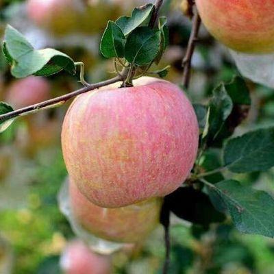93366/红富士苹果当季新鲜水果整箱批发包邮 多仓发货 个数随机