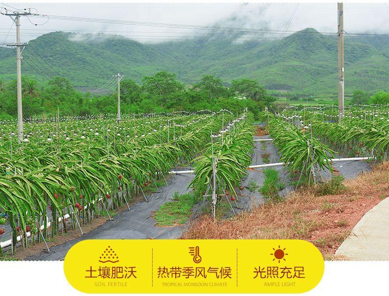 【冷链运输】云南红心火龙果5/3/2斤(单果200-450g)白心火龙果x