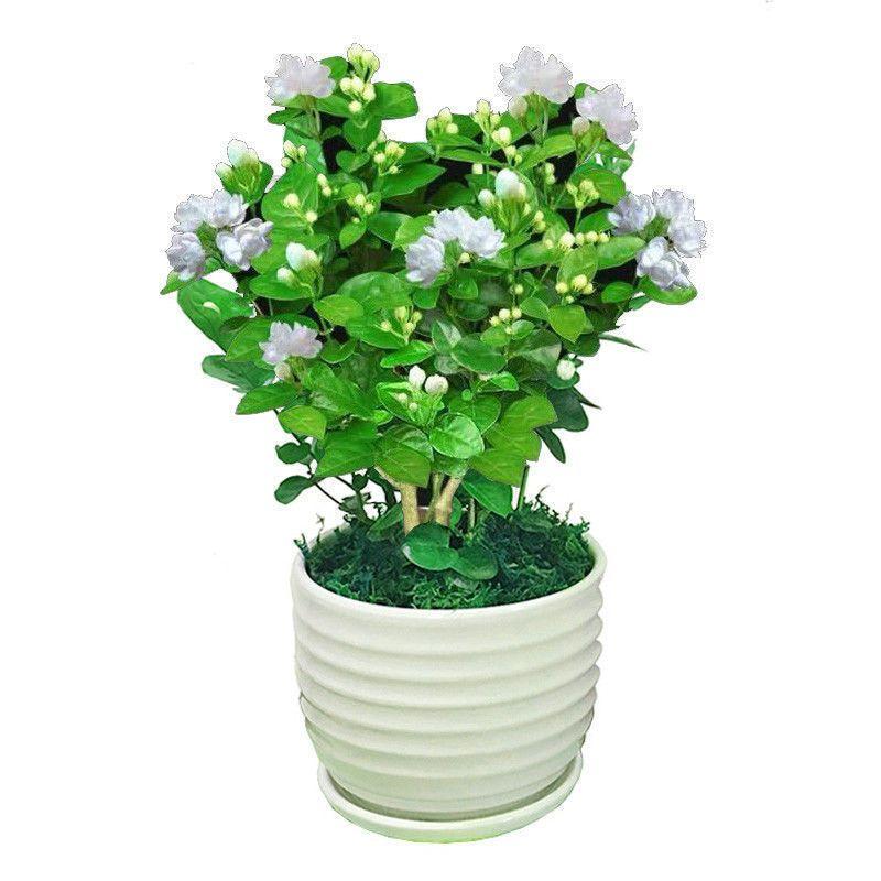 茉莉花盆栽带花苞客厅阳台花卉驱蚊防蚊植物四季常青绿植花开不断