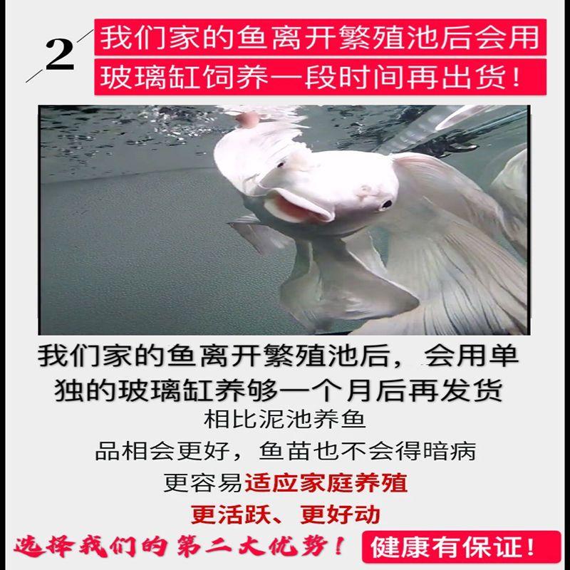 冷水鱼蝴蝶鲤观赏鱼锦鲤淡水小鱼活体纯种鱼苗短身金鱼大尾狮子头