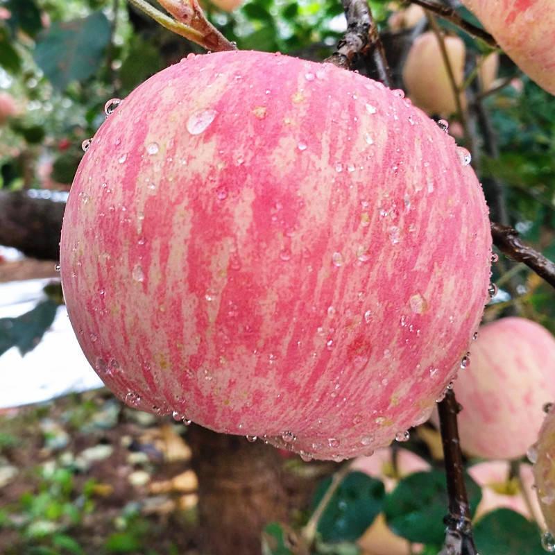 陕西冰糖心红富士苹果新鲜脆甜10斤装