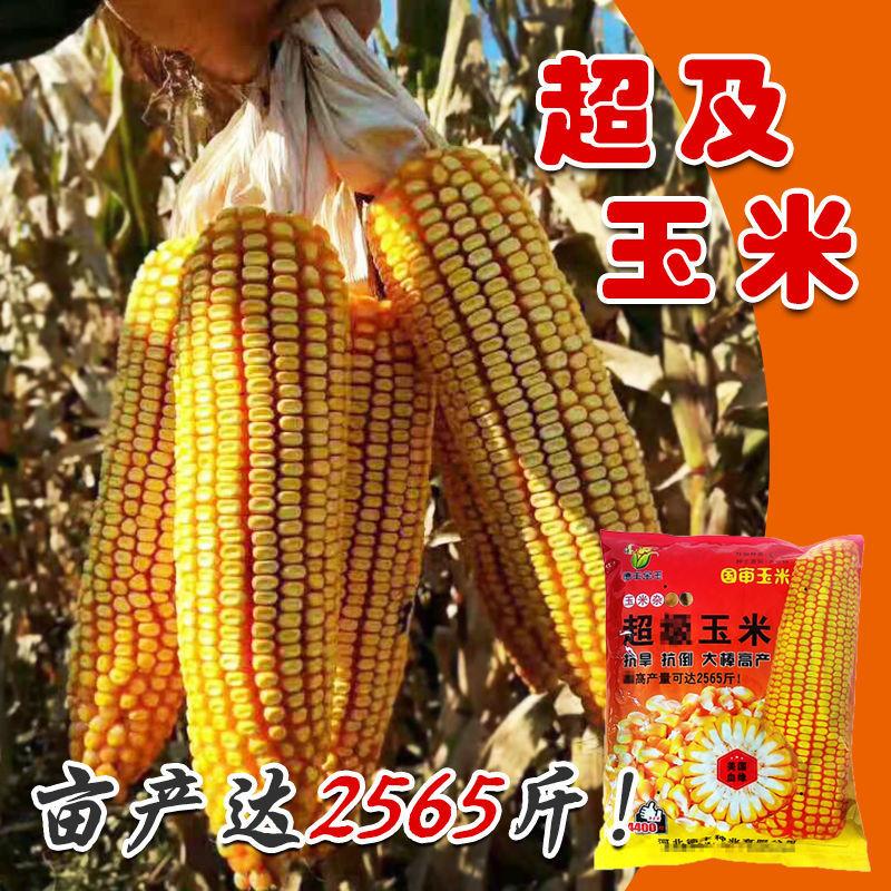 大田种植杂交玉米种子基地 高产大穗抗病国审玉米郑丹958玉米杂交