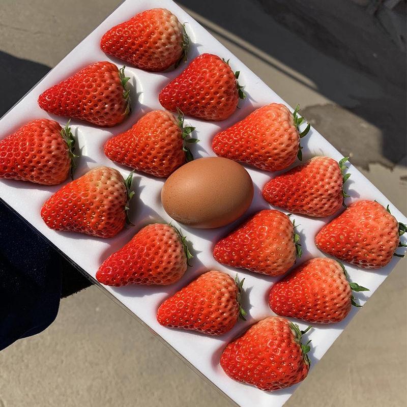 丹东99草莓 新鲜牛奶红颜大草莓