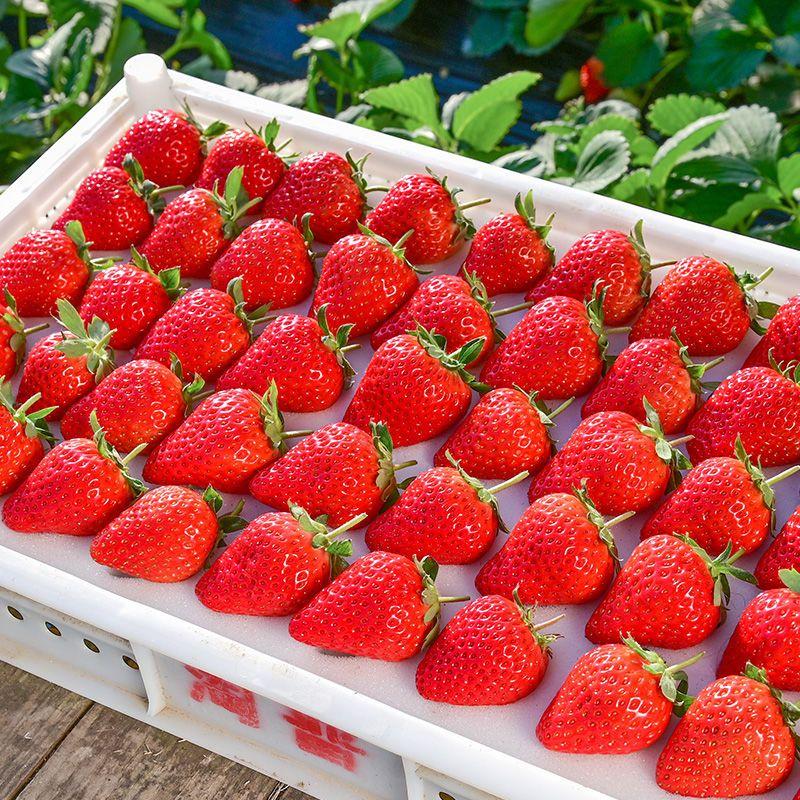 红颜99奶油草莓 现摘现发牛奶草莓
