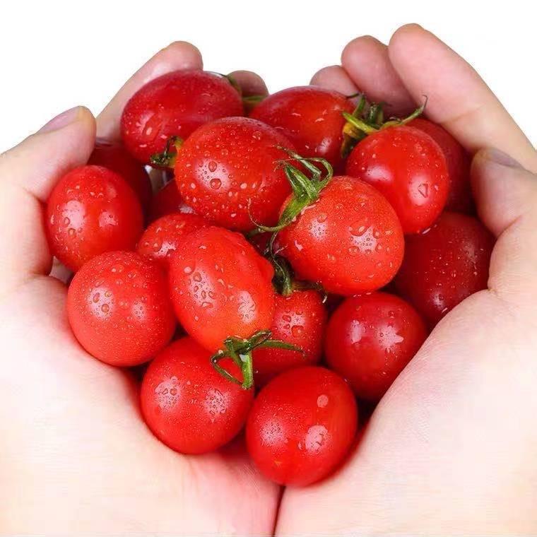现摘新鲜圣女果小西红柿沙瓤