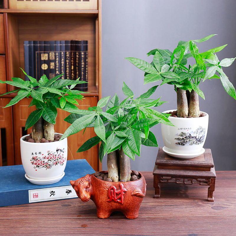 发财树盆栽室内客厅桌面小盆景大发财树苗吸甲醛招财树花卉绿植物