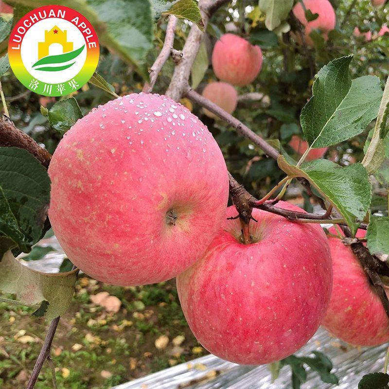 88914-陕西洛川红富士苹果脆甜红富士苹果新鲜水果整箱70mm以上【10月17日发完】-详情图