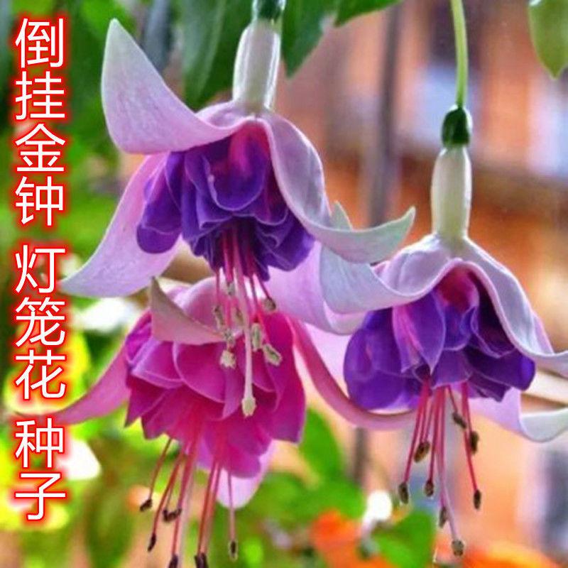 精品观花四季倒挂金钟花种子吊钟海棠种子阳台盆栽垂吊灯笼花种籽