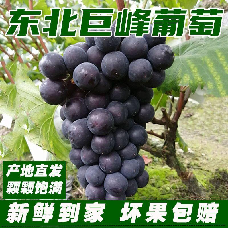 75809-东北巨峰葡萄新鲜水果超甜孕妇儿童水果非夏黑葡萄提子整箱发货-详情图