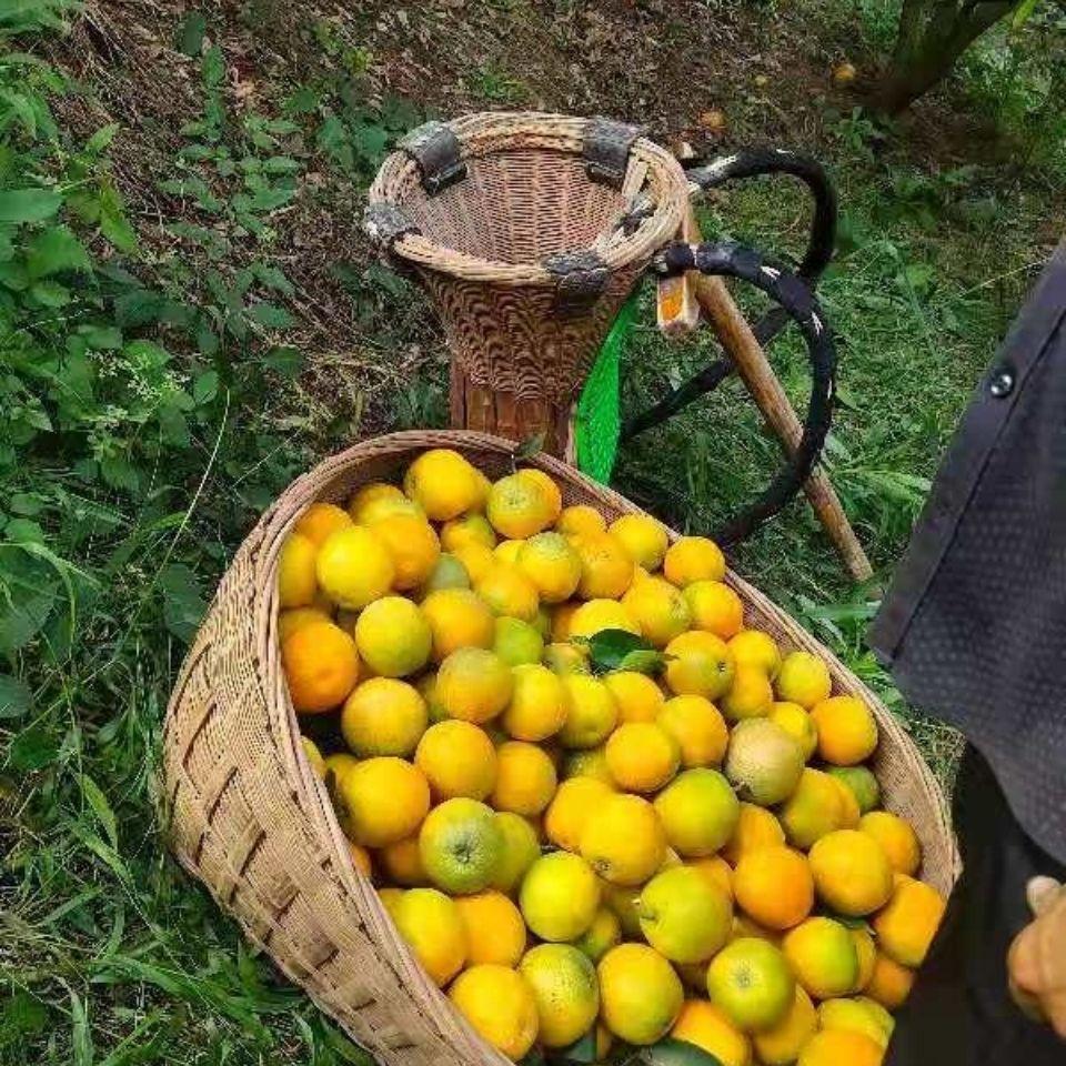 75631-湖北橙子新鲜5斤秭归夏橙水果当季手剥甜橙非伦晚脐橙赣南-详情图