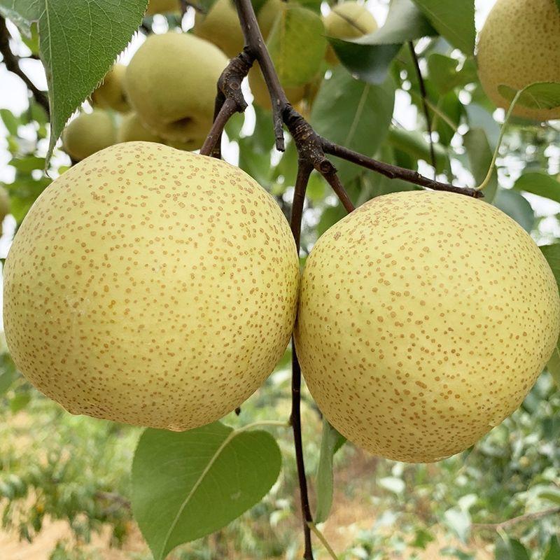 75709-砀山酥梨正宗百年梨树新鲜梨子包邮水果批发酥梨脆甜多汁止咳化痰-详情图