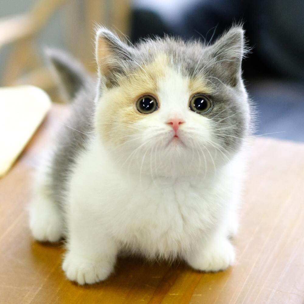 小猫咪活物宠物猫虎斑曼基康矮脚猫短腿猫英短蓝猫幼猫银渐层美短