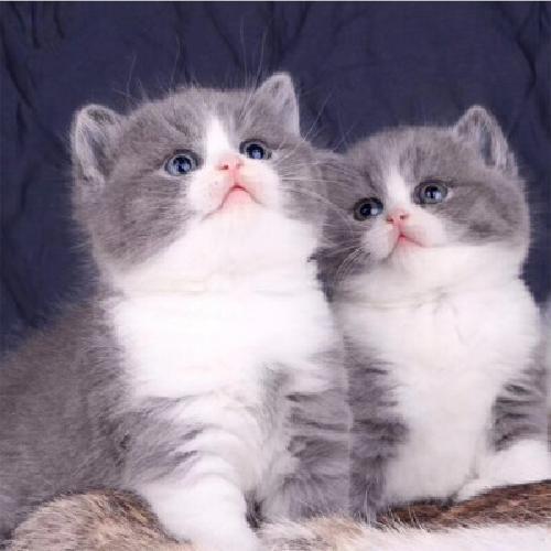 出售纯种英国短毛猫 蓝白猫幼猫活体 英短蓝白猫 折耳猫 宠物猫咪
