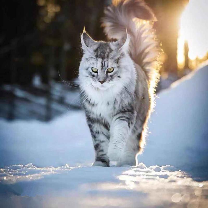 纯种幼猫缅因猫虎斑猫缅因猫银虎斑红虎斑棕虎斑缅因猫宠物猫橘色
